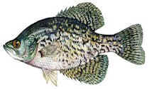 smallcrappie.jpg (11540 bytes)